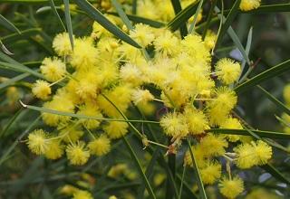 acacia-flower